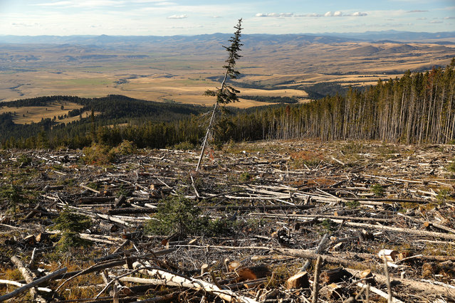 A lone lodgepole pine stands in an area logged after an infestation of the mountain pine beetle killed most of the trees in the stand in Beaverhead-Deerlodge National Forest September 12, 2019 near Deer Lodge, Montana. According to the 2017 Montana Climate Assessment, the annual average temperatures in the state has increased 2.5 degrees Fahrenheit since 1950 and is projected to increase by approximately 3.0 to 7.0 degrees by mid-century. As climate change makes summers hotter and drier in the Northern Rockies, forests are threatened with increasing wildfire activity, deadly pathogens and insect infestations, including the mountain pine beetle outbreak. Although the number of new trees infested each year by the pine beetle has reduced since the height of the outbreak around 2012, the insects have killed more than six million acres of forest across Montana since 2000. (Photo by Chip Somodevilla/Getty Images)