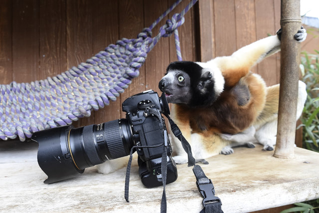 Poppy, a female Crowned sifaka, inspects a photographer's camera in the enclosure at the zoo of Mulhouse, eastern France, on March 5, 2019. The Crowned sifaka is a critically endangered species from Madagascar. (Photo by Sebastien Bozon/AFP Photo)