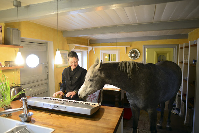 Nasar, an Arabian horse, watches in the kitchen in the house of doctor Stephanie Arndt as she plays on a keyboard on February 19, 2014 in Holt, Germany. (Photo by Patrick Lux/Getty Images)