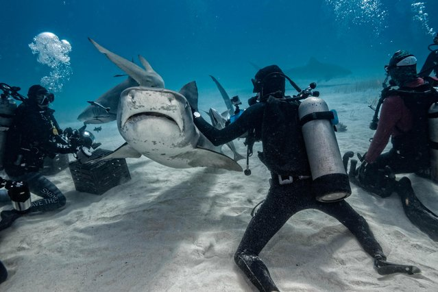 The spectacular sequence shows the divers reaching out and even petting the 500kg predators. (Photo by Steve Hinczynski/Mediadrumworld)