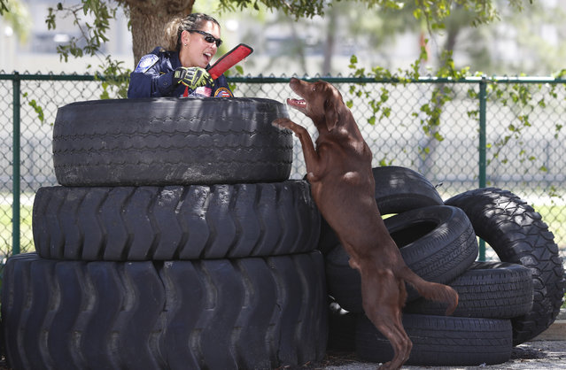 Miami-Dade emergency worker Maggie Castro is found by Zeus a chocolate Labrador while hiding in a stack of tires during an urban search and rescue demonstration on June 19, 2019, at the Miami-Dade Fire Rescue Training Facility in Miami. Specializing in urban search and rescue, the Miami-based, 210-personnel Florida Task Force 1 have responded to numerous disasters, including the Florida Panhandle after Hurricane Michael and in Haiti after the 2010 earthquake. The K-9 unit has a minimum of 12 certified search and rescue dogs with an extensive list of rescues. (Photo by Wilfredo Lee/AP Photo)