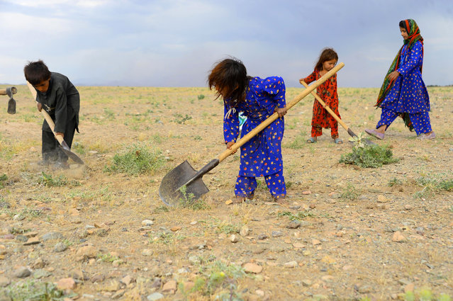 In this photo taken on May 18, 2019, Afghan children collect grass, twigs and other vegetation for fire in a field on the outskirt of Herat province. (Photo by Hoshang Hashimi/AFP Photo)