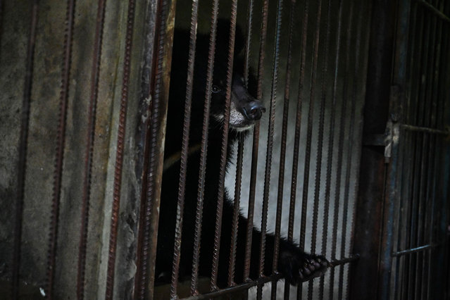 This photo taken on July 9, 2019 shows an Asian black bear in the Thabarwa Animal Shelter in Mawbe, on the outskirts of Yangon. Between 10 to 80 new dogs arrive daily at the Thabarwa Animal Shelter, which also takes care of Asian black bears and monkeys. (Photo by Ye Aung Thu/AFP Photo)