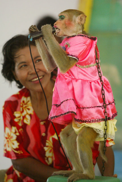 """Kanchana, a 17-year-old macaque, """"performs"""" a hit song during a monkey show in Lopburi province, Thailand May 30, 2003. (Photo by Sukree Sukplang/Reuters)"""