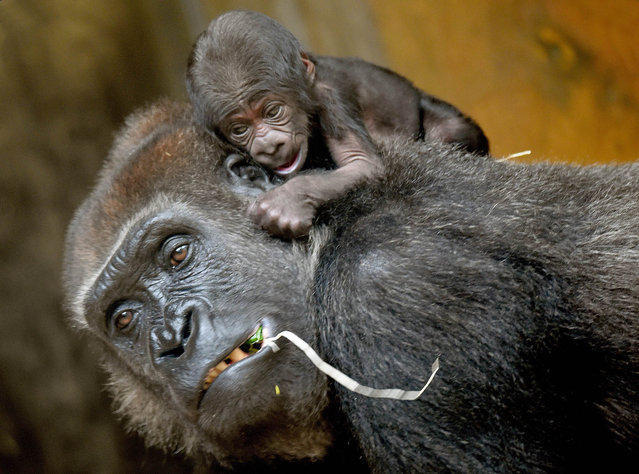A yet to be named baby gorilla sits on top of its mother Zazie at the adventure zoo in Hanover, Germany, 07 September 2015. The male baby gorilla was born on 04 September and weighs about 2,000 grams. (Photo by Holger Hollemann/EPA)