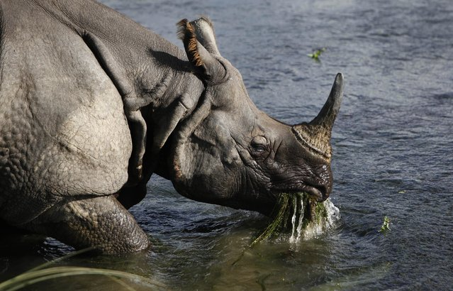 In this Sunday, Aug. 1, 2010 file photo, a greater one horned rhino eats water plants from a river in Janakauli community forest bordering Chitwan National Park, Nepal. Officials say authorities are searching for poachers who killed a rare one-horned rhino over the weekend of April, 8 2017 in the forests of southern Nepal and cut off the horn. Forest officer Nurendra Ryal said it was the first killing of a rhino in the Chitwan National Forest in nearly three years and soldiers and forest rangers were scouring the forests and nearby areas for the people who shot the rhino. (Photo by Gemunu Amarasinghe/AP Photo)