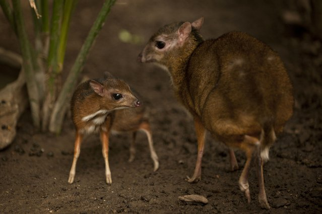 """A picture taken on April 25, 2014 shows a Java mouse-deer cub, one of the world's smallest hoofed animals, and its mother at the Fuengirola Biopark, near Malaga. The latest specimen of the world's tiniest deer – a rare species no bigger than a hamster – has been born in a nature park in southern Spain, conservationists said today. The baby """"deer-mouse"""" became just the 43rd living member of this species in Europe when it was born on April 9. (Photo by Jorge Guerrero/AFP Photo)"""
