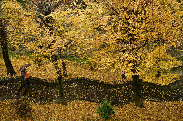 A pedestrian walks down a stairways through a row of rees during a rainy autumn day, in Pamplona, northern Spain, Tuesday, November 20, 2018. (Photo by Alvaro Barrientos/AP Photo)