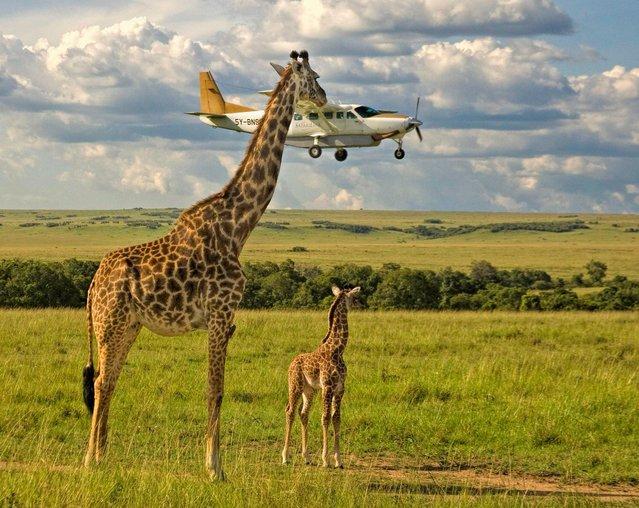 """A giraffe checks plane safety in Graeme Guy's """"Outsourcing Seatbelt Checks"""" on November 17, 2008 in Masai Mara, Kenya. (Photo by Graeme Guy/CWPA/Barcroft Images)"""