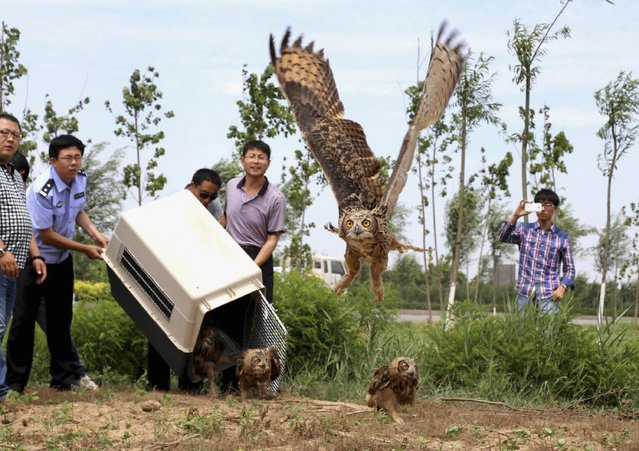 Policemen and volunteers release eagle owls after their recovery from injury, in Cangzhou, Hebei province, China, on Jule 10, 2014. About 36 of these rare birds were sent back to the wild after receiving treatment for their injuries, according to local media. (Photo by Reuters/China Daily)