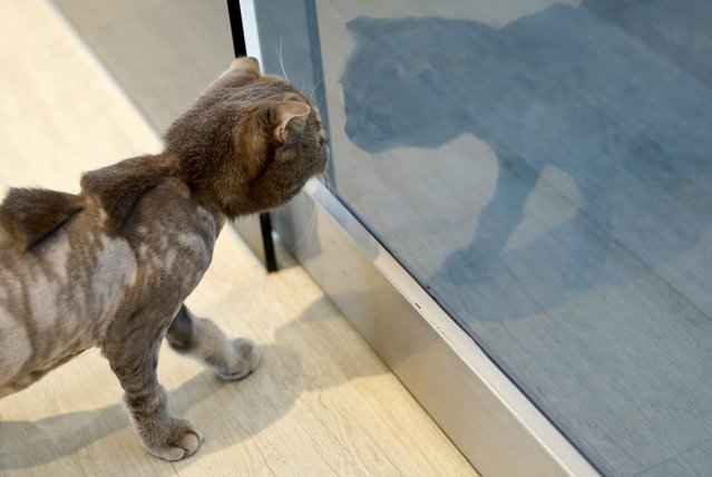 """A cat with a """"stegosaurus spine"""" design cut into its fur is seen at a pet shop, in Tainan, Taiwan June 19, 2016. (Photo by Tyrone Siu/Reuters)"""