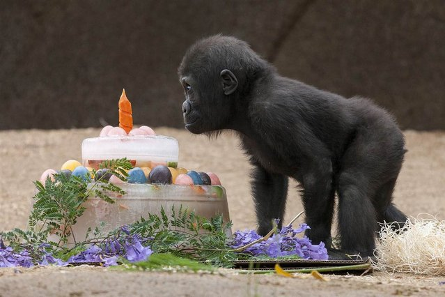 Monroe, a 1-year-old Western lowland gorilla, checks out his first birthday cake