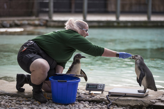 """A penguin is weighed on a scale during a photocall to promote the London Zoo annual """"weigh-in"""" event on August 24, 2017 in London, England. With more than 17,000 animals to weigh, the exercise is carried out on a regular basis by zookeepers as a way of keeping track of every animals health and wellbeing. (Photo by Dan Kitwood/Getty Images)"""
