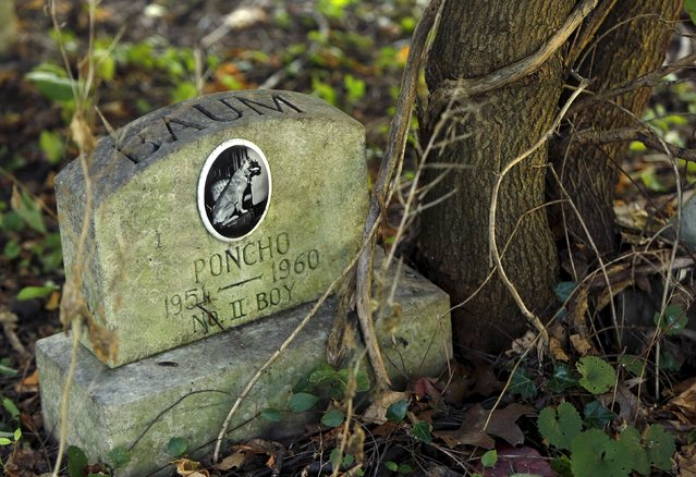 """A dog's headstone for """"Poncho"""" is seen in an overgrown section of the Aspin Hill Memorial Park in Aspen Hill, Maryland August 25, 2015. (Photo by Gary Cameron/Reuters)"""
