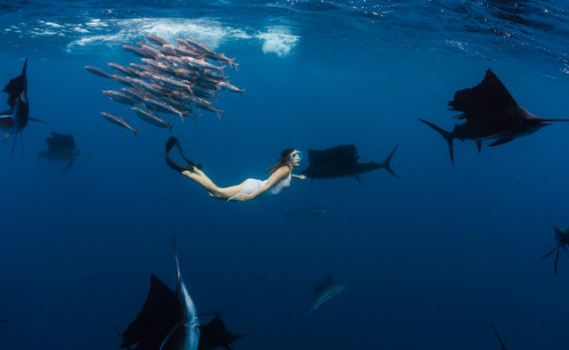 Model, skydiver and wing-suit jumper Roberta Mancino, 33, swims with sail fish on February 2013 in Isla Mujeres, Mexico. A female skydiver swims with whale sharks, manta rays and sailfish – the fastest fish in the sea. Model, skydiver and wing-suit jumper Roberta Mancino, 33, jumped from a boat into the ocean surrounding Isla Mujeres near the northern Peninsula of Mexico. The incredible project involved two trips to the stormy winter seas – one in February 2013 and one a year later in February 2014. (Photo by Shawn Heinrichs/Barcroft Media)