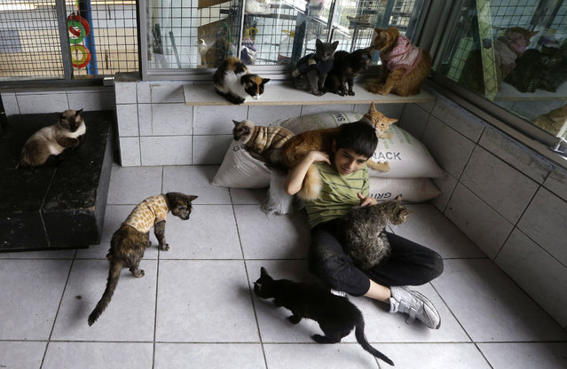In this August 2, 2014 photo, Maria Torero's son Fabian, 7, plays with the hospice's cats. Maria Torero, cares for 175 cats with leukemia at her home in Lima, Peru. The home is permeated with the stench of urine, which cannot be eliminated with even the strongest air fresheners. (Photo by Martin Mejia/AP Photo)