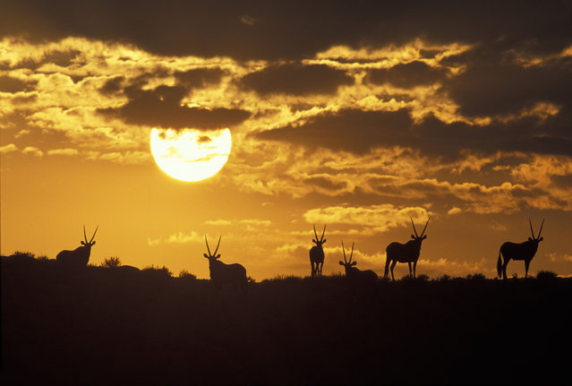 A herd of gemsbok silhouetted on sand dune at dawn inSouth Africa, Kgalagadi Transfrontier Park. (Photo by Paul Souders/Dantia Delimont/Caters News/Ardea)