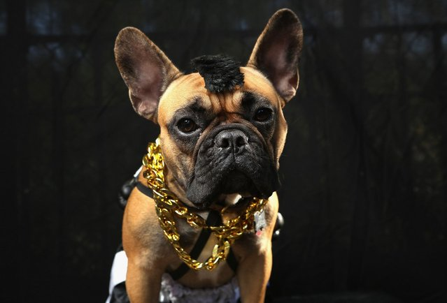 Gus, a boxer, poses as Mr. T at the Tompkins Square Halloween Dog Parade on October 20, 2012 in New York City