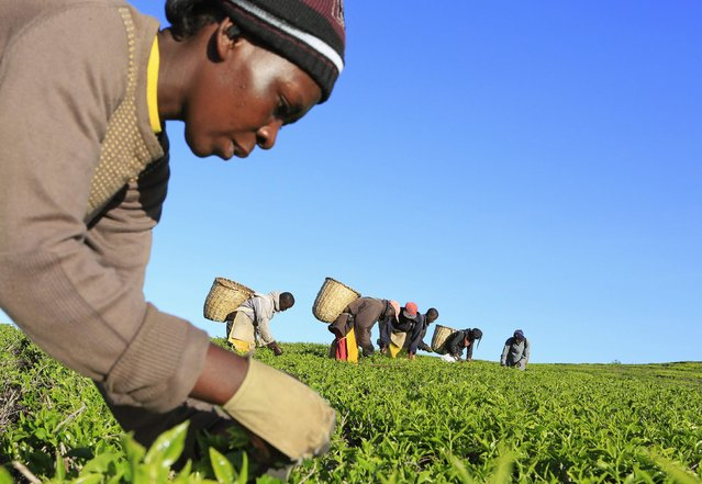A woman picks tea leaves at a plantation in Nandi Hills, in Kenya's highlands region west of capital Nairobi, November 5, 2014. (Photo by Noor Khamis/Reuters)