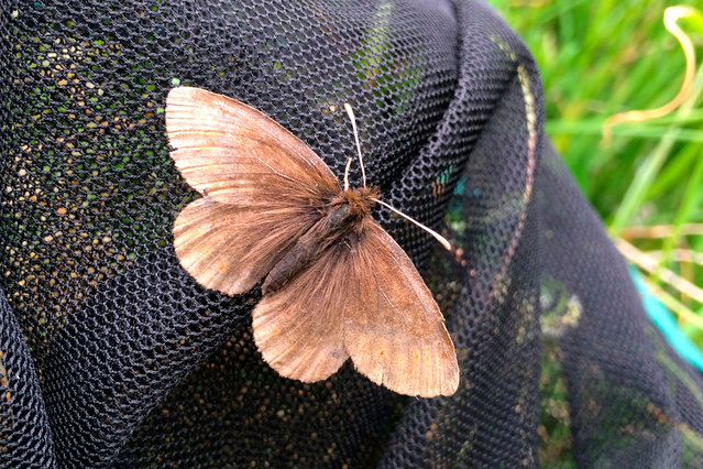 A handout picture released on September 23, 2020 by Andrew Bladon of University of Cambridge shows a Mountain ringlet Erebia epiphron butterfly on a net on July 10, 2018. Key to butterfly climate survival may be in the wings. Whether a butterfly's wings absorb or reflect heat from the sun could be a matter of life and death in a warming world, according to British research published on September 24, 2020 calling for gardens, parks and farms to host shady, cooling-off spots. While all butterflies are ectotherms – they cannot generate their own body heat -- their ability to thermoregulate varies significantly between species, researchers said. The study shows that larger and paler butterflies including the Large White (Pieris brassicae) and Brimstone (Gonepteryx rhamni) are best able to buffer themselves against environmental temperature swings. They angle their large, reflective wings in relation to the sun, and use them to direct the sun's heat either away from, or onto their bodies. These species have either stable or growing populations. (Photo by Andrew Bladon/University of Cambridge/AFP Photo)