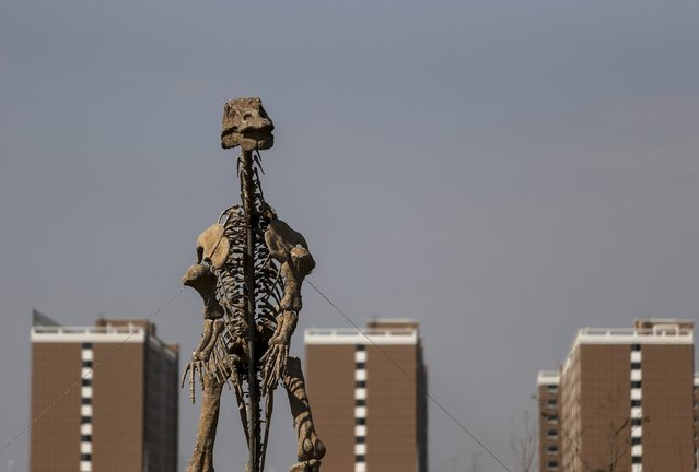 A model of a dinosaur skeleton is seen during a dinosaur exhibition, in front of a residential complex in Kunming, Yunnan province, November 30, 2014. (Photo by Wong Campion/Reuters)