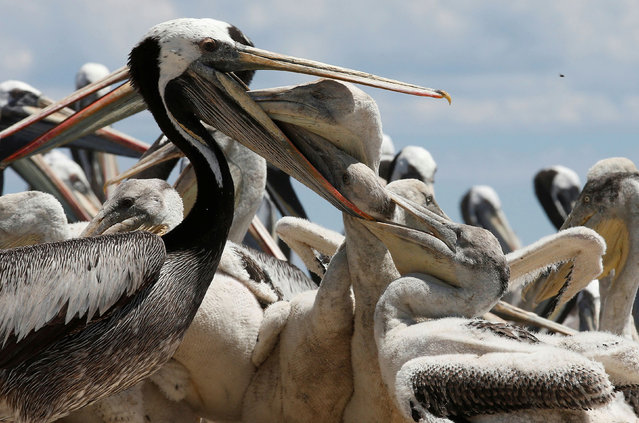 A pelican feeds its young during a census carried out by the National Forestry Corporation (CONAF) on Cachagua Island in Zapallar, Chile on February 8, 2021. (Photo by Rodrigo Garrido/Reuters)