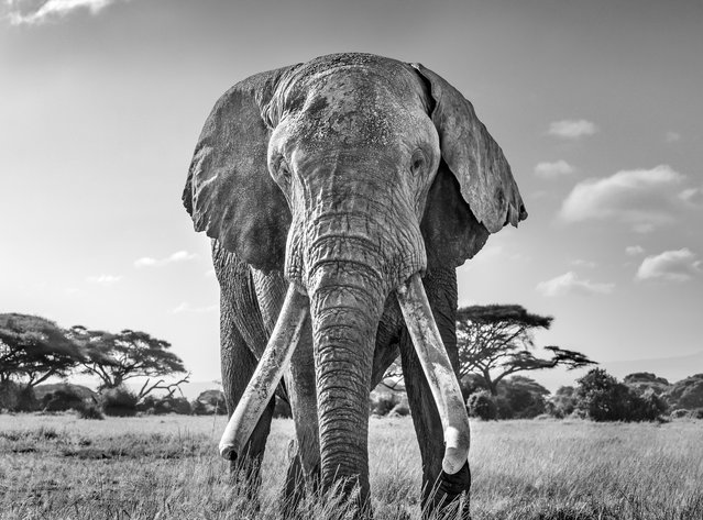 Ulysses, one of the last remaining great tuskers, Kenya. Gold prize in black-and-white. (Photo by Harry Skeggs/World Nature Photography Awards)