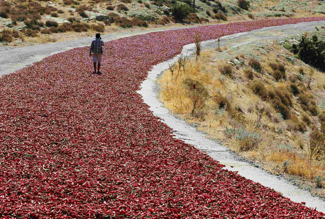 Okkes Sahin (16) walks on hot peppers laid out on a road to dry under the sun in Kilis province September 12, 2013. Farmers sell their peppers to factories producing pepper products after drying them under the sun for a week. (Photo by Umit Bektas/Reuters)