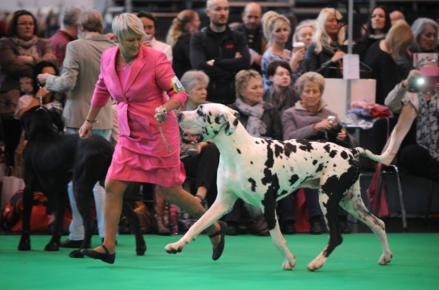 A great dane with its owner competes on the second day of Crufts dog show at the National Exhibition Centre in Birmingham, England, Friday March 6, 2015. First held in 1891, Crufts is said to be the largest show of its kind in the world, the annual four day event features thousands of dogs competing for the coveted title of 'Best in Show'. (AP Photo/Rui Vieira)