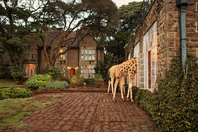 The hotel, together with the associated Giraffe Centre next door, operates a breeding programme to reintroduce this species back into Kenya's protected wild areas. Young calves born at the centre are generally introduced back into the wild at the age of two years. (Photo by Klaus Thymann)