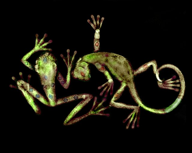 Lizard and frog, coloured X-ray. (Photo by Paula Fontaine/Barcroft Media)