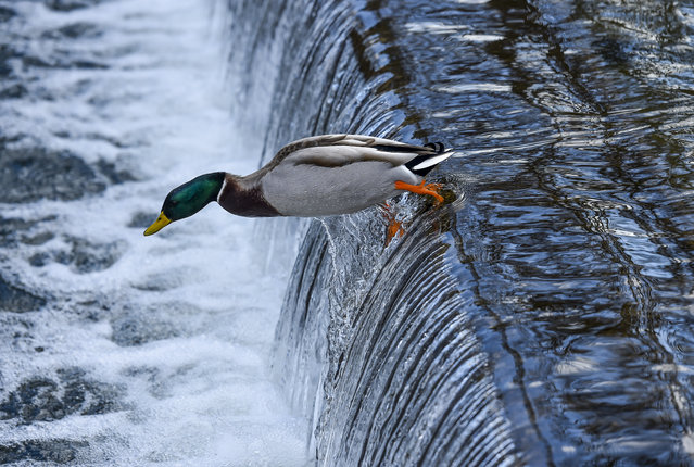A duck takes a leap over a small waterfall in Carroll Creek at Baker Park on April 1, 2015 in Frederick, Md. (Photo by Ricky Carioti/The Washington Post)