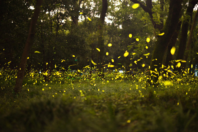 Fireflies dance in a park in Nanjing, China on July 17, 2019. (Photo by Costfoto/Barcroft Media)