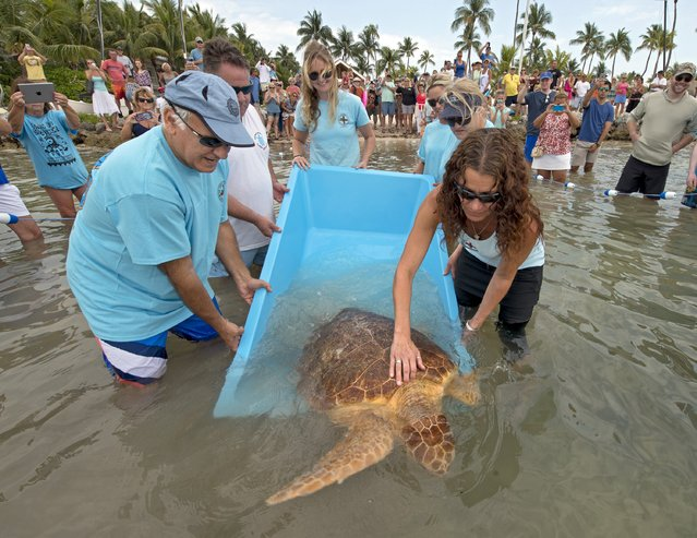 """A sub-adult loggerhead sea turtle named """"Miley"""" is released off the Florida Keys at Islamorada, Florida May 2, 2015. The reptile was named after rescuers who found her floating in early March 2015 noticed the turtle's rear end was gyrating and named her after Miley Cyrus, whose expressive dance moves were dubbed """"twerking"""" by the pop singer. (Photo by Andy Newman/Reuters/Florida Keys News Bureau)"""