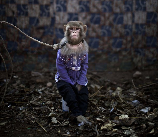 A trained monkey sits held by a leash in Rawalpindi. (Photo by Muhammed Muheisen/Associated Press)