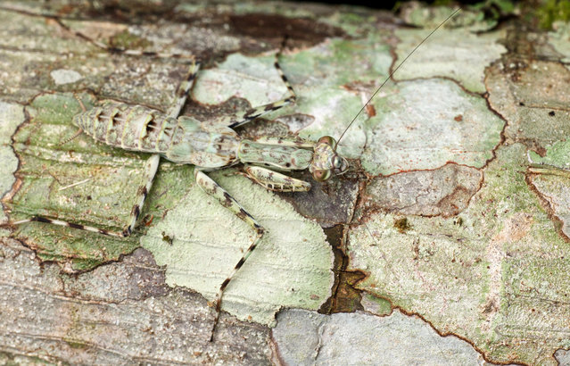 Juvenile liturgusid bark mantis. (Photo by Paul Bertner/Caters News)