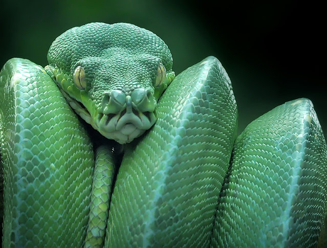Green tree python (morelia viridis) seen hunting prey on February 15, 2017 in Padang, Indonesia. Green tree pythons are very active and aggressive during the night. It has a slender body and shorter than other types of pythons. (Photo by Riau Images/Barcroft Images)