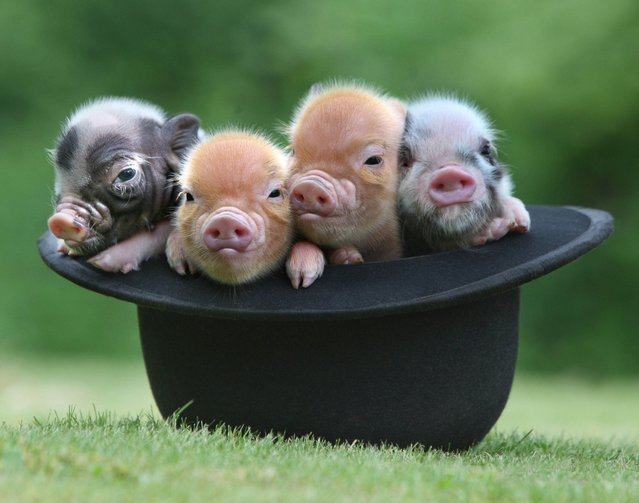 Micro Pig Photos. (Photo by Richard Austin)