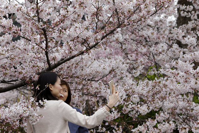 Women take a selfee with blooming cherry blossoms at Shinjuku Gyoen National Garden in Tokyo, Wednesday, March 30, 2016. Visitors enjoy a total of 1,100 cherry trees of 65 different types that start to bloom from February until the end of April at the park. (Photo by Shizuo Kambayashi/AP Photo)