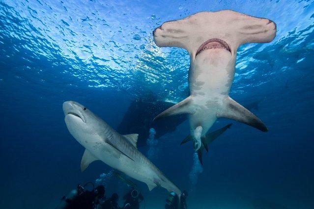 Hammerhead sharks were also amongst the animals captured in the remarkable series. (Photo by Steve Hinczynski/Mediadrumworld)
