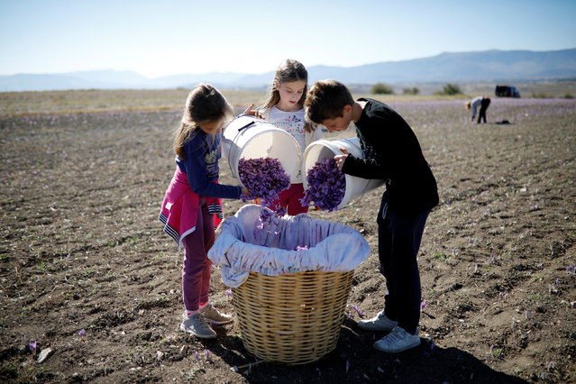 Nikolas Patsiouras, Maria and Evangelia Patsioura fill a basket with saffron flowers at their family's field in the town of Krokos, Greece, October 26, 2018. (Photo by Alkis Konstantinidis/Reuters)
