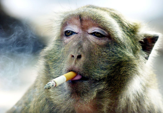 Namwan, a 10-year-old female monkey, takes a puff on a cigarette at a temple in Kanchanaburi, west of Bangkok, Thailand November 28. After being discarded by her owners at the temple, Namwan started to pick up and smoke used cigarette butts and has now become addicted to smoking. Namwan now asks passersby for a cigarette to help fuel the habit. (Photo by Sukree Sukplang/Reuters)