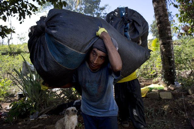 In this June 20, 2015 photo, Edgar Escalante shoulders a sack filled with coca leaves to the weight station in Samugari, Peru. Pickers earn about 33 cents per kilo (2.2 pounds) of coca leaf, adding up to about $16 a day for the average yield. (Photo by Rodrigo Abd/AP Photo)
