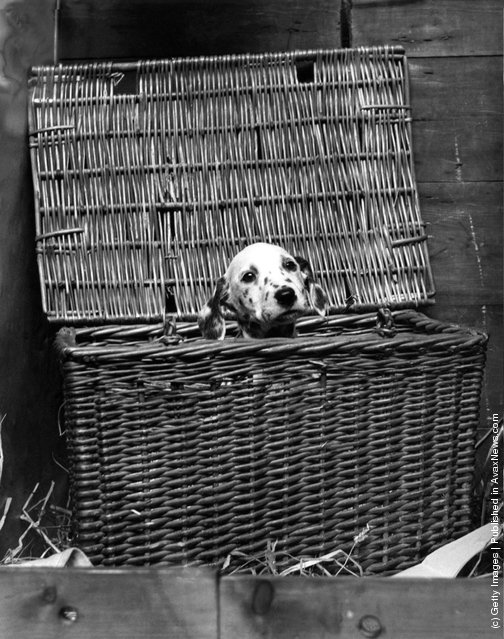 1939: A dalmatian puppy peers out nervously from a large wicker basket