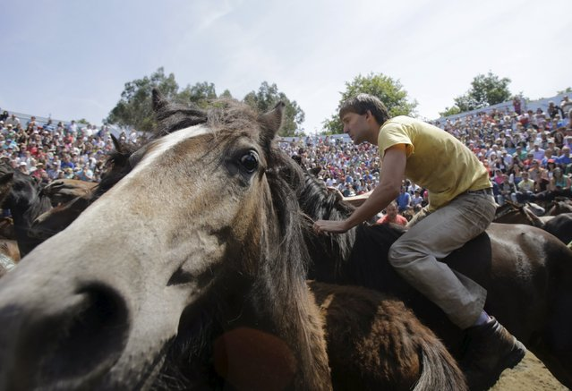 "A reveller tries to hold on to a wild horse during the ""Rapa das Bestas"" traditional event in the village of Sabucedo, northwestern Spain, July 5, 2015. (Photo by Miguel Vidal/Reuters)"