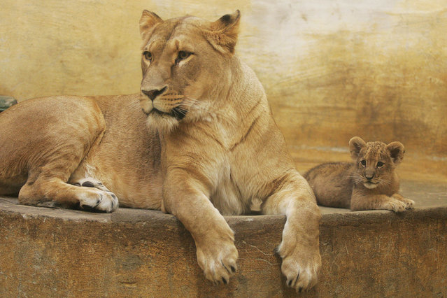 An un-named two-and-a-half-month baby lion lays beside its mother in their enclosure at the zoo in the north-eastern city of Rostock on November 4, 2008. (Photo by Danny Gohlke/AFP Photo)