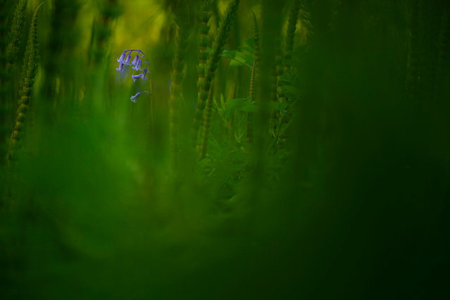 Botanical category winner. Amongst Emerald Depths (bluebell; mare's tail) by Jack Mortimer from Great Milton, Oxford. (Photo by Jack Mortimer/British Wildlife Photography Awards/PA Wire Press Association)