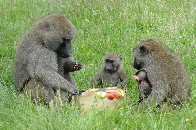 Olive Baboons enjoying frozen ice fruit in the hot humid weather at Knowsley Safari Park in Liverpool, England on July 1, 2015. (Photo by Mirrorpix/Splash News)