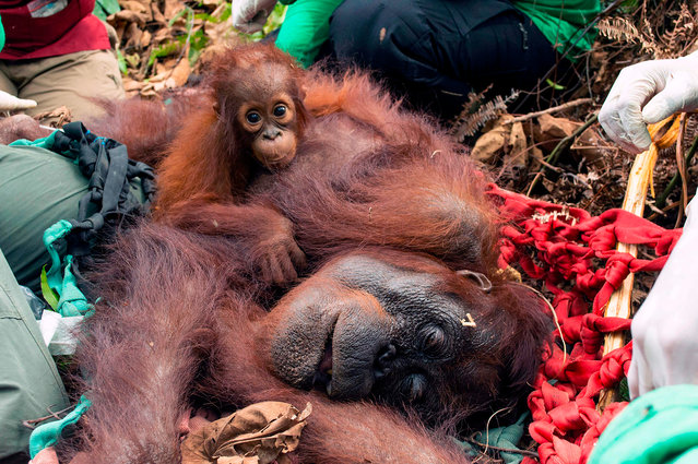 This handout picture taken on October 11, 2019 and released by International Animal Rescue shows an orangutan nicknamed Mama Sifa (R) and her cub Sifa being released into the forest in Ketapang, West Kalimantan. Sifa and her mother Mama Sifa were rescued from the recent massive forest fires in Indonesia that have caused a toxic haze to spread as far as Singapore and peninsular Malaysia seriously affecting endangered orangutans and their habitat. (Photo by International Animal Rescue/AFP Photo)