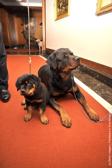 Tug, a Rottweiler (R) and her offspring, Tasha attend as American Kennel Club announces Most Popular Dogs in the U.S. at American Kennel Club Offices
